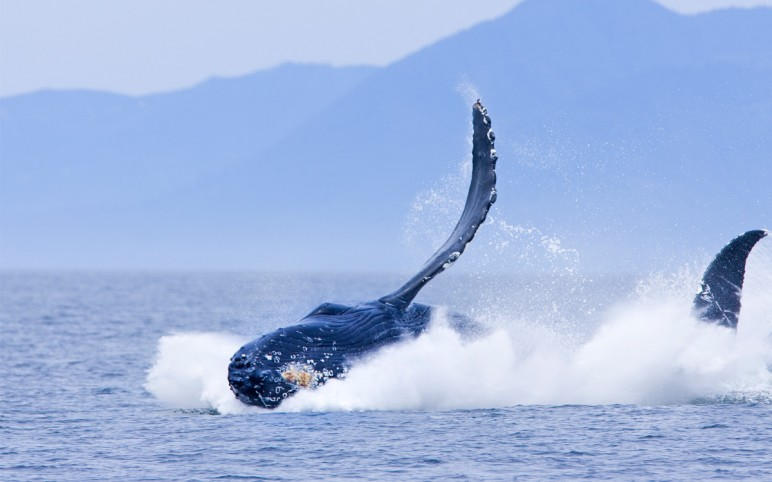 Pacific Rim Whale Festival 2012 exhibition preparation