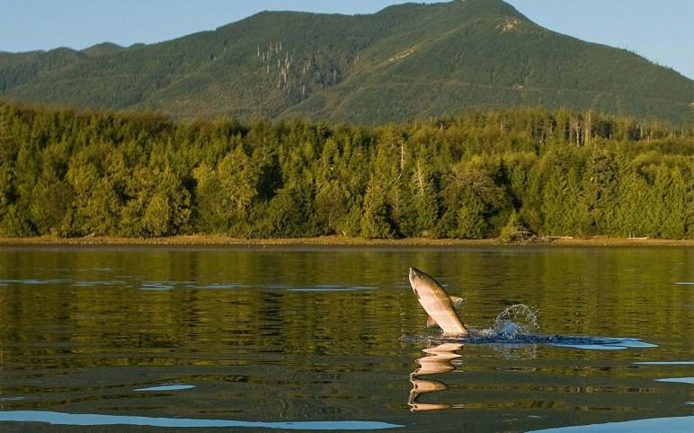 Salmon Leap!