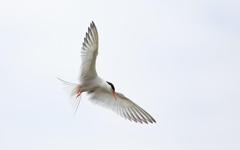 Common Terns at Hampstead Heath