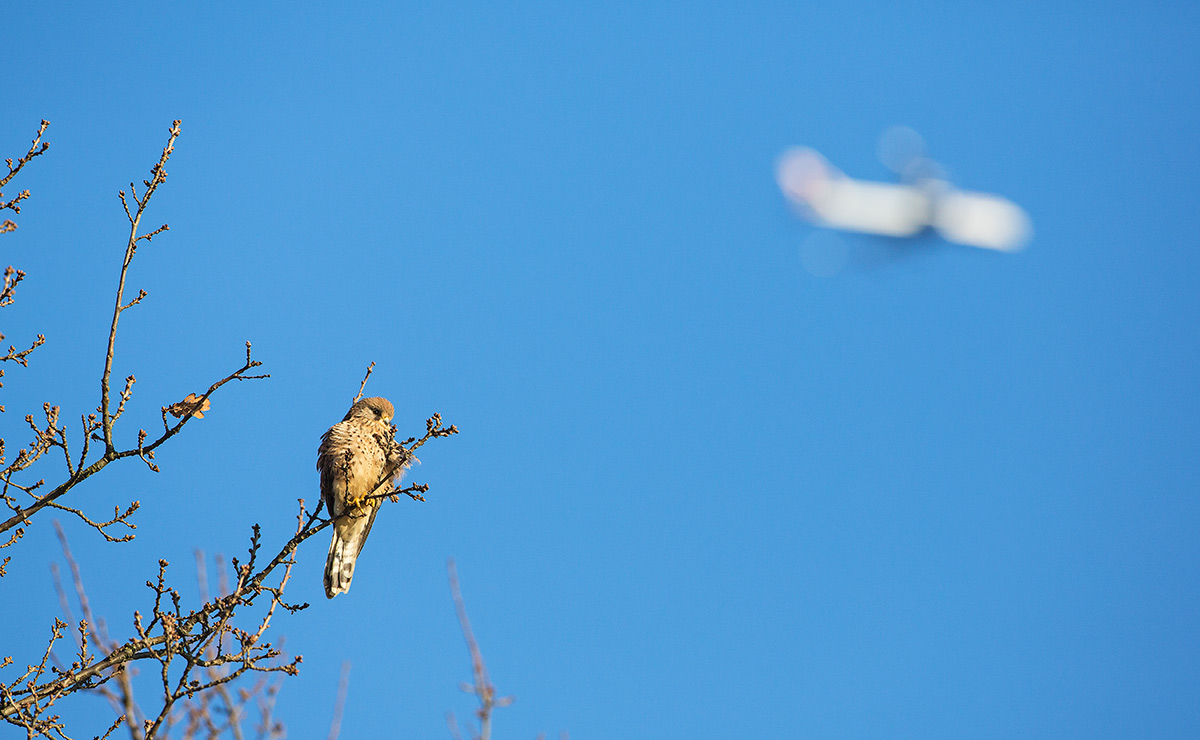 kestrel with plane overhead