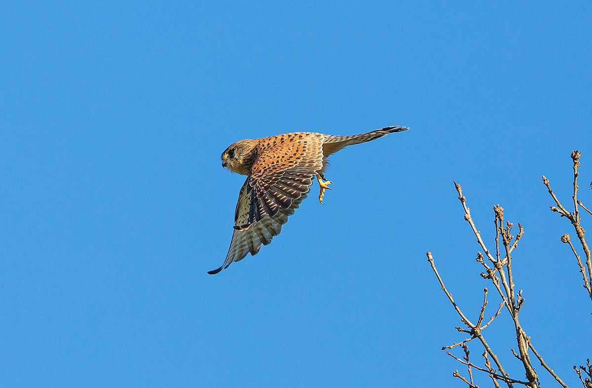 kestrel taking off from tree