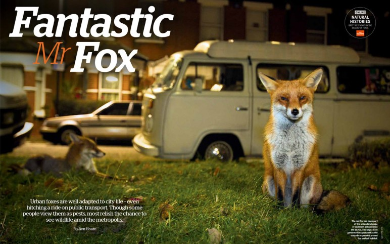 BBC Wildlife Magazine Fox Feature
