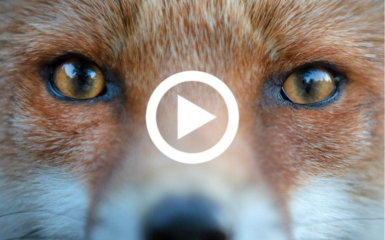 Shooting Foxes the Compassionate Way | Part Three